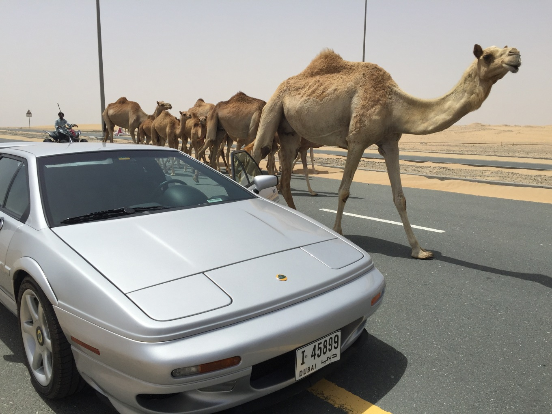 Lotus camel1578.jpg